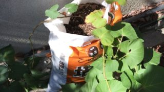 芽の出たサツマイモを植えてみた