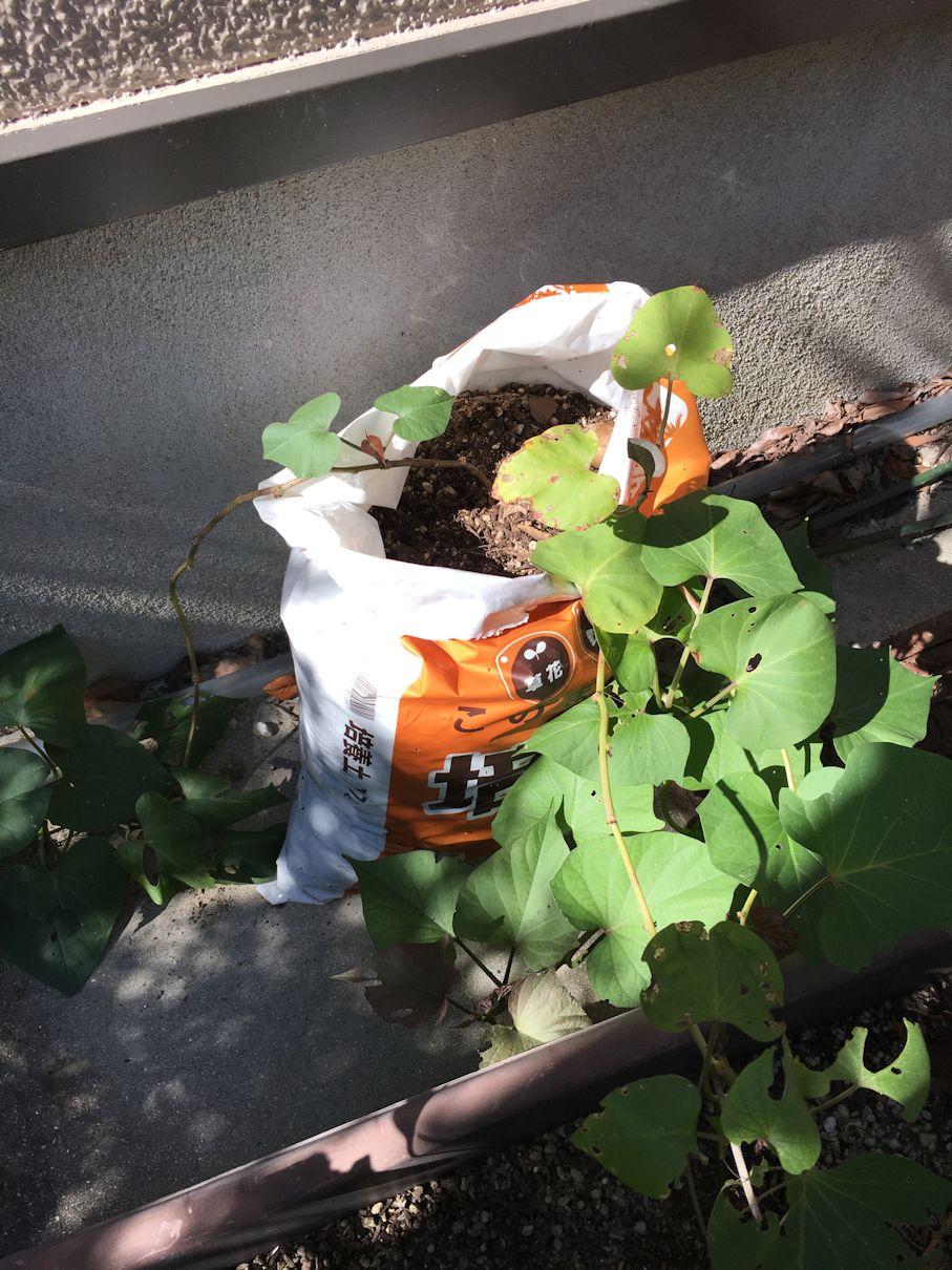 さつまいも袋栽培