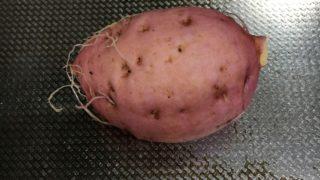 自家栽培の芋を収穫